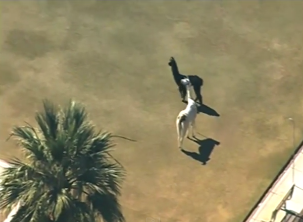 A pair of llamas were on the run in Sun City, Ariz., for about an hour.