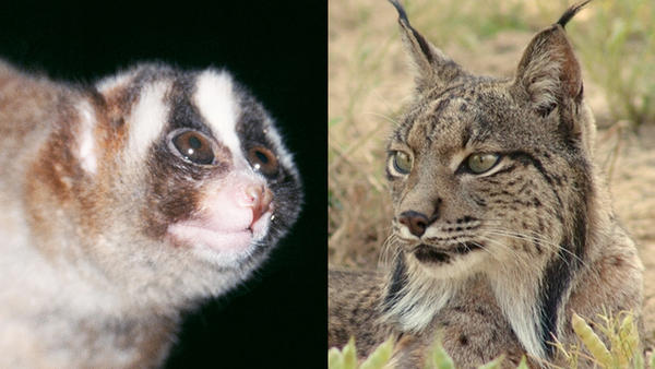 The 11th-seeded Javan slow loris (left) will face the 6th-seeded Iberian lynx in Round 1 of this year's Mammal March Madness.