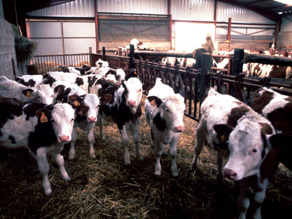Cows in England suspected of having mad cow disease in 1996. The illness was traced to particular proteins that gummed up brain tissue because they didn't fold properly.