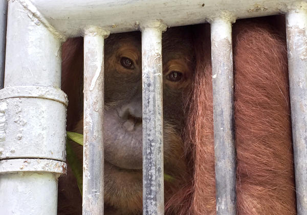 An adult orangutan in a cage at the Sumatran Orangutan Conservation Program. It's one of four that remain at the program, either because they are disabled or because they pose a risk to people and animals outside the program.