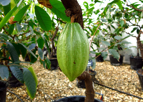 Green cocoa pods are split open and the beans inside harvested for chocolate.