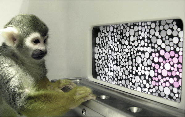 Dalton the squirrel monkey during the color vision test.