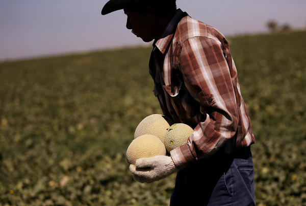A worker harvests cantaloupes on a farm on Aug. 22, 2014 near Firebaugh, Calif., 40 miles west of Fresno.