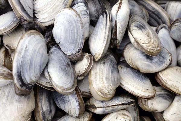 The blood cancer in soft-shell clams poses no risk to humans, but it does kill the shellfish.