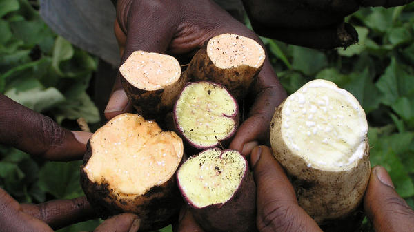 A sweet rainbow: Americans like their sweet potatoes orange and packed with sugar. But in Africa, yellow and white varieties are also popular. They tend to be less sweet.