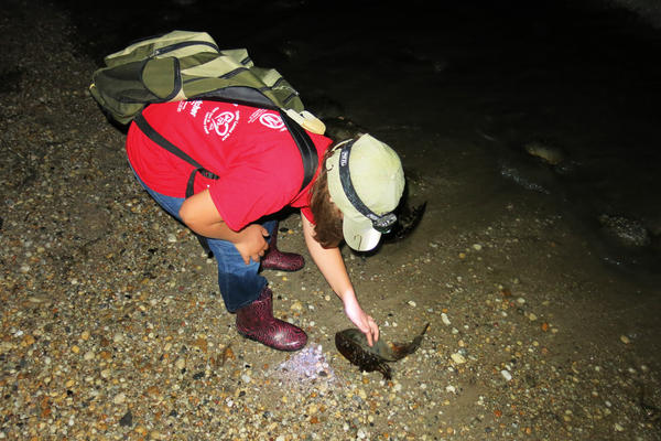 Faith Hewes picks up a crab and turns it over. Volunteers are encouraged to help horseshoe crabs stranded on their backs.