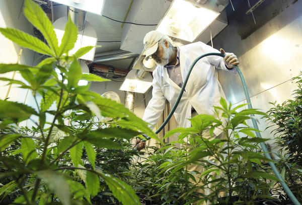 Using chemicals to control bugs or mold is common among commercial cannabis growers. But with no federal oversight, experts are concerned growers may be using dangerous pesticides.