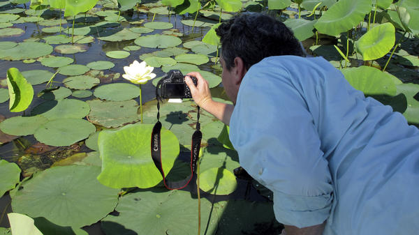 Ben Raines, director of the Weeks Bay Foundation, leans over his skiff to get a photograph of a blooming American lotus in the Mobile delta.
