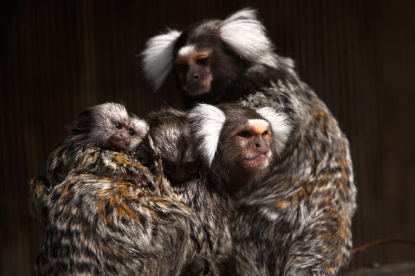 Common marmosets can copy the sounds and intonations of their parents.
