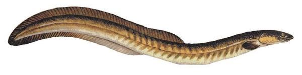 American eel. Anguilla rostrata.