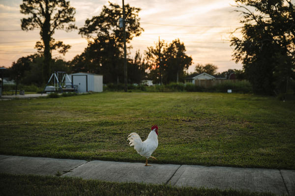 A chicken meanders on the sidewalk on Schnell Drive in Arabi, La.