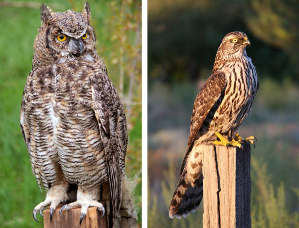 Biologist Erick Greene's team used a robotic horned owl (left) and a robotic hawk to provoke other birds into making various alarm calls he could record and study.