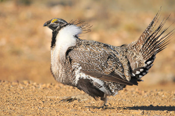 There are about 400,000 greater sage grouse left on the landscape, spread across 11 Western states, from California to North Dakota. That's a fraction of what their numbers were just a century ago.