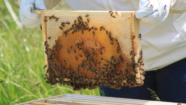 Katie Hayward, owner of Felin Honeybees, lifts out a honeycomb on her honeybee farm. Thieves have made off with some 45,000 honeybees from the farm in recent months.