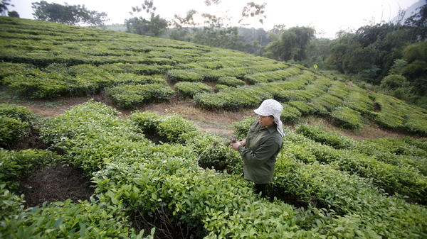 A woman from the Muong ethnic tribe works on her green tea hills, which produce black tea for export, in Tan Son, outside Hanoi, Vietnam.