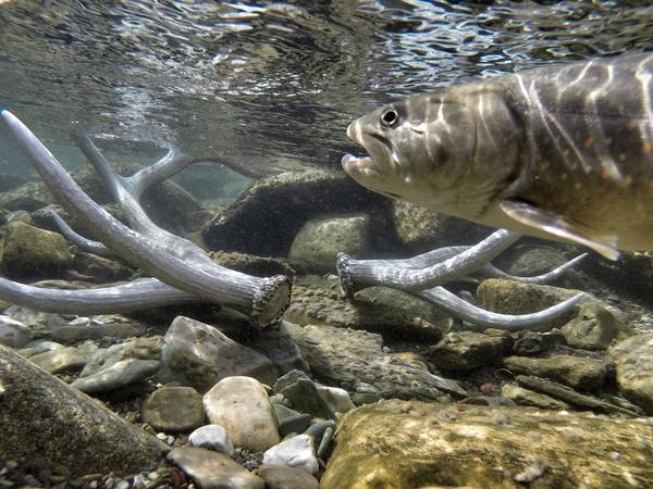 Bull trout are running out of time in Montana as their traditional waters heat up, biologists say. By moving more than 100 fish to higher elevations, fisheries scientists hope to save the species by seeding a new population in waters that will stay cooler longer.