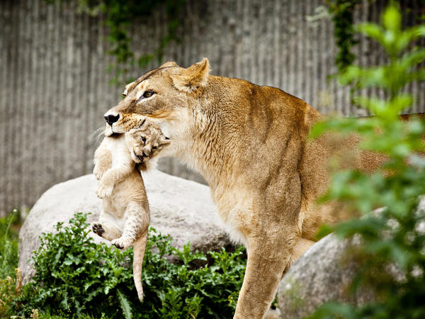 A lioness carries a cub at the Copenhagen Zoo in July 2013.