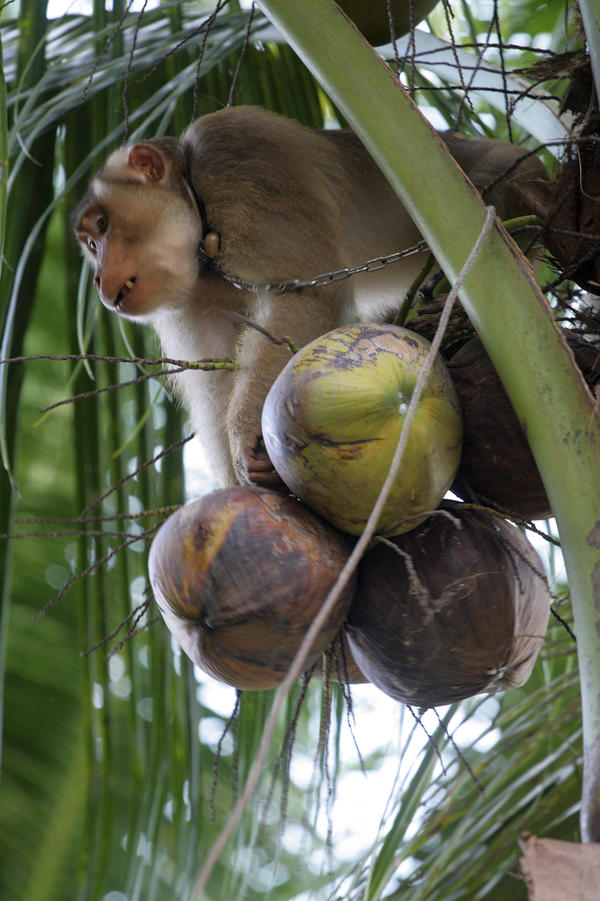 A male monkey can collect up to 1,600 coconuts per day and a female can get 600, while a human can collect only around 80 per day on average.