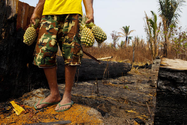 "Farmers like Amado Pedro da Silva, 63, who owns a small farm, believe you don't have to burn the land. When nearby farmers set fires, they inevitably spread and da Silva loses valuable crops like this pineapple field that was destroyed. ""If you live with the land, the land will protect you,"" he says. ""If you poison it, the land will attack you."""