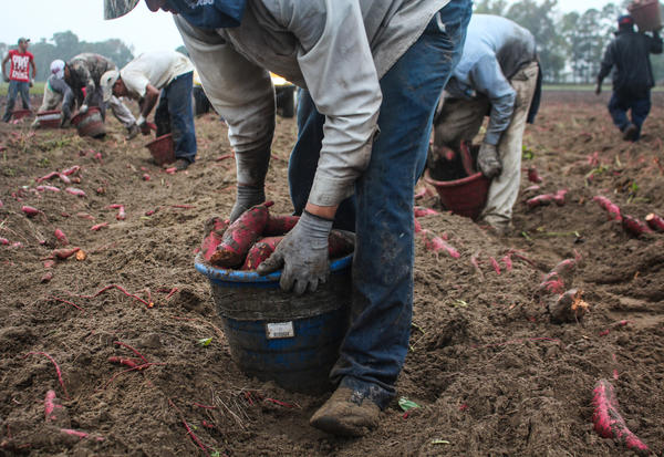 Workers sort potatoes in the field, collecting small and large ones in different buckets. Each bucket weighs 30 pounds or so. A worker will shoulder that bucket and dump it into a flatbed truck 400 to 500 times a day. It's a daily load of 6 or 7 tons of sweet potatoes.