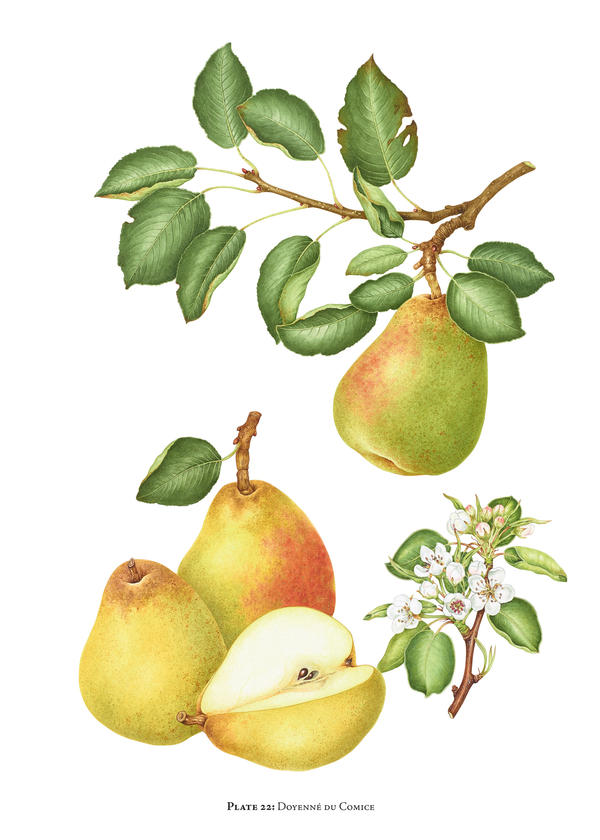 """The Doyenne du Comice pear is a """"pear of superlatives; grown all over the world in gardens and for market. Handsome, generous appearance with rich, luscious, very buttery, exquisitely textured, pale cream flesh,"""" writes Morgan."""