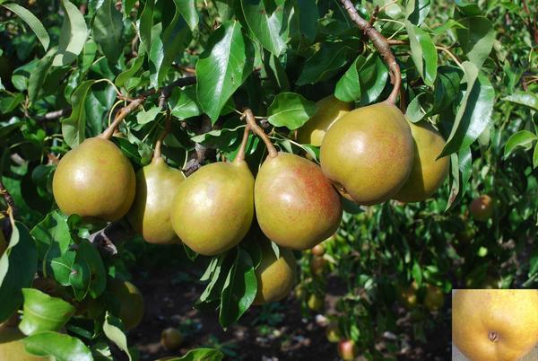 """Author Joan Morgan says Beurré Superfin is one of her favorite pears. It's """"truly delicious: very buttery, juicy, cream to pale yellow flesh, intensely rich with plenty of sugar lemony acidity,"""" she writes in <em>The Book of Pears</em>."""