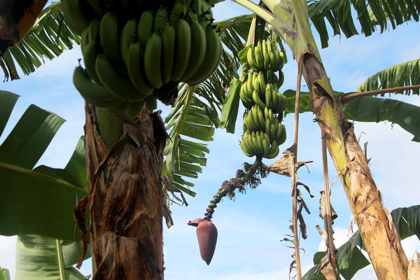 One of the banana plants in the collection at the USDA's Tropical Agriculture Research Station in Puerto Rico. It's just one of many banana collections around the world that might just hold the key to stopping a fungus's deadly reach.
