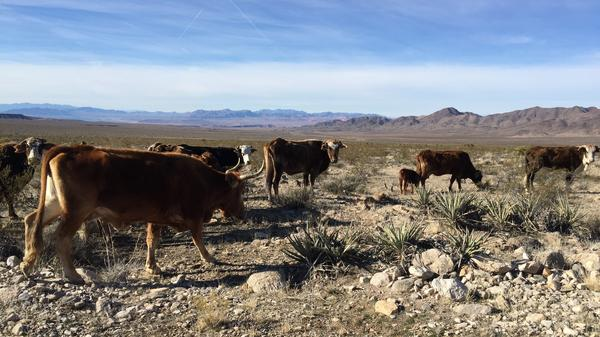 Cattle have been grazing in the vast Gold Butte area since an armed standoff between the government and self-styled militia in 2014.