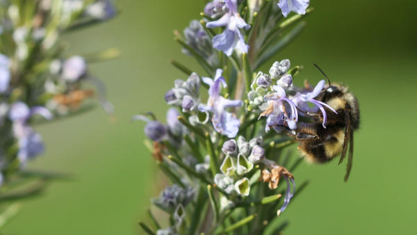 A bumblebee on rosemary blooms on a residential property in Langley, Wash.