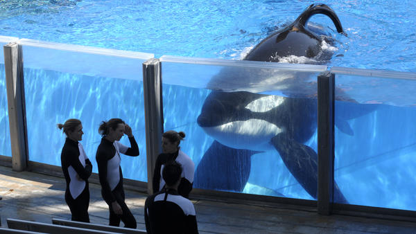 Killer whale Tilikum watches as SeaWorld Orlando trainers take a break during a training session at the theme park's Shamu Stadium in Orlando, Fla., in 2011.