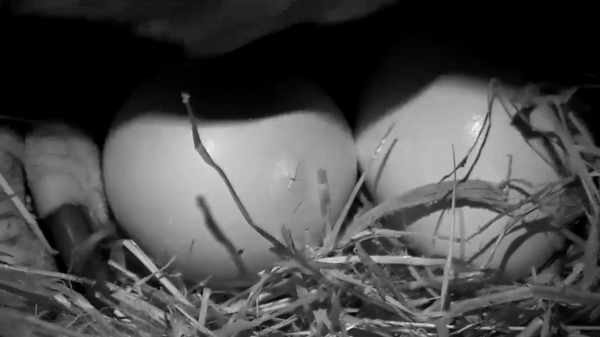 An egg on the grounds of the National Arboretum now shows signs of a baby eaglet trying to emerge from.