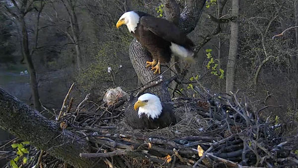 The two bald eagles have been taking turns incubating their eggs at the National Arboretum, a greenspace about 2 miles from the Capitol building.