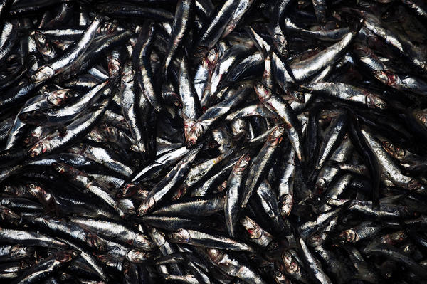 Peruvian anchoveta being processed at a fish meal factory in Lima in 2009. The small forage species has been heavily fished.