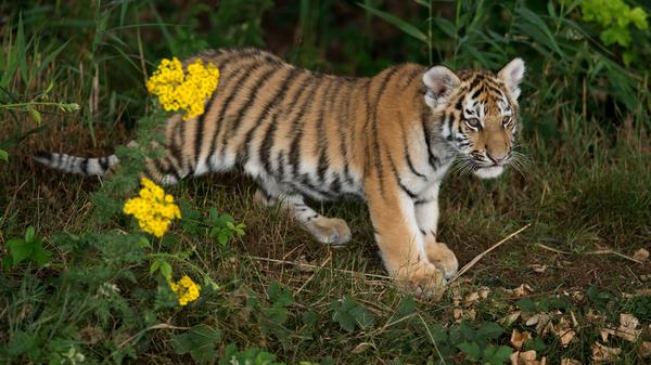 Tiger populations are on the rise, after years of losses, according to a new survey. Here, a tiger cub explores its nature reserve for the first time in England last year.