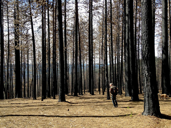 Kevin Sadlier hunts for morels in the Lake County forest burned by last September's Valley Fire — one of the most destructive in California history.