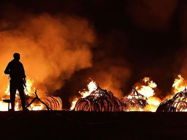 A Kenya Wildlife Services ranger stands guard in front illegal stockpiles of burning elephant tusks at the Nairobi National Park on April 30, 2016.