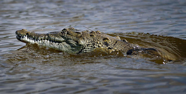 A crocodile is seen in a canal near the Florida Power & Light's Turkey Point Nuclear Power Plant where they protect the crocodile and conduct research by counting their nests annually to record population changes June 28, 2012 near Florida City, Florida. Wasilewski, a biologist, studies the reptile and helps in developing and constructing the American crocodile nesting habitat near the power plant. The American crocodile had been on the endangered species list but has been taken off that list and put on the threatened list. With the success of the program to help save the crocodile their populations around developed areas will continue to grow which means that there may be more encounters between humans and the reptile.  (Joe Raedle/Getty Images)