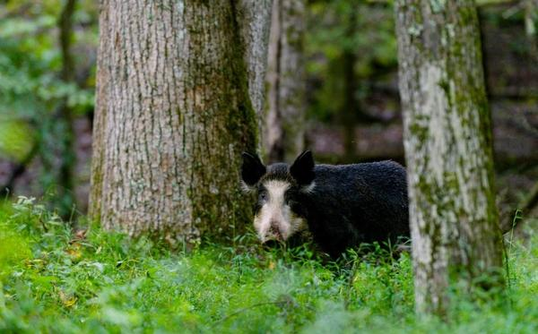 Feral hogs in Great Smoky Mountains National Park are an invasive and hugely destructive species.