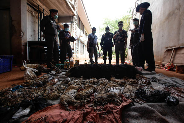 """Officers with Thailand's Department of National Parks, Wildlife and Plant Conservation observe the carcasses of 40 tiger cubs and a binturong (also known as a bearcat) found at the """"Tiger Temple"""" on Wednesday."""