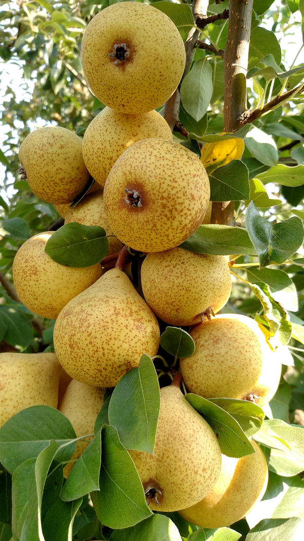Thorn pears, an English variety used for perry production.