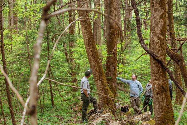 Dalton Hyde (center right) and Glenn Taylor, members of the Great Smokies vegetation crew, work to rescue white ash trees from the emerald ash borer, an aggressive beetle that is threatening the ash trees at Great Smoky Mountains National Park and across the east.