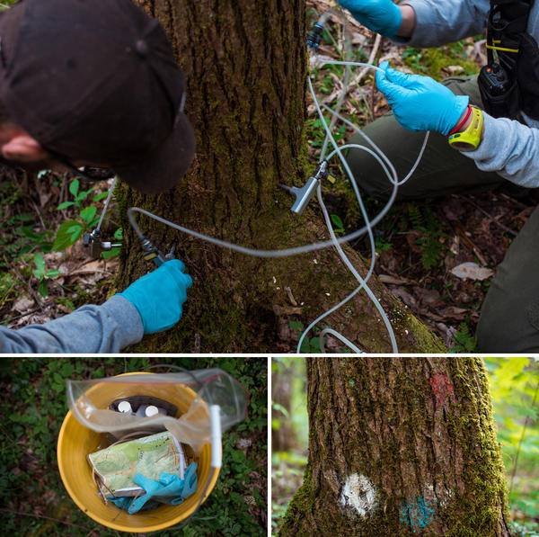 (Top) A hemlock tree is treated with a tree injection system - or tree IV - that delivers a chemical that kills the invasive aphid-like woolly adelgid. (Left) Supplies used to treat the hemlock trees are carried in plastic tubs. (Right) A hemlock tree is marked after being treated with an IV of a chemical that kills the invasive aphid. Trees need to be treated every 5-7 years.