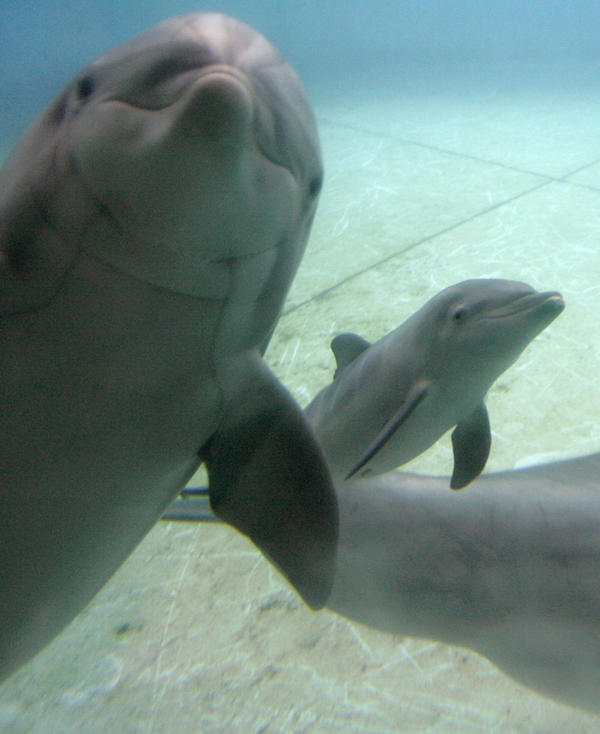 Chesapeake (left) swims with her recently born calf at the National Aquarium in Baltimore in 2008.