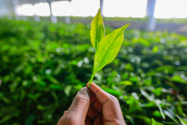 Fresh tea leaves, plucked from waist-high bushes, are fragile and easily damaged.