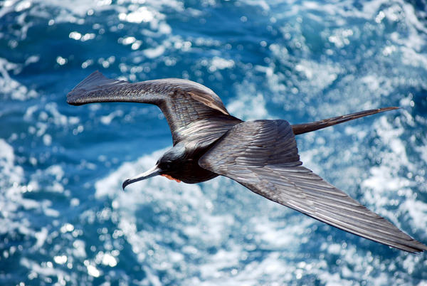 Frigatebirds have to find ways to stay aloft because they can't land on the water. This bird was flying between the Galapagos islands of Santiago and Bartolome.