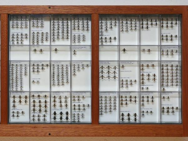 A tray displaying part of Fredrik Sjöberg's extensive hoverfly collection.