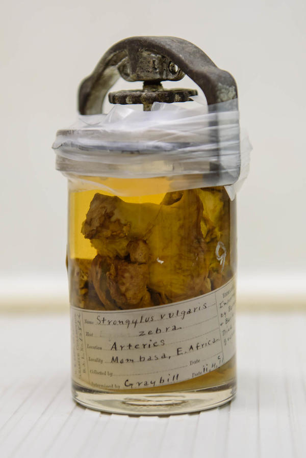 The national parasite collection includes specimens of animal tissue containing worms. Above: tissue (and roundworm) from a zebra imported from Africa for the Barnum and Bailey circus in 1911.