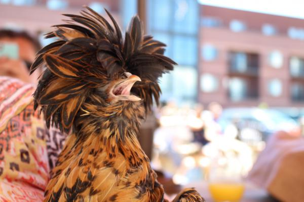 "Patsy, a Laced Polish hen, took home the award for Prettiest Plumage. Her owner, Kristina Cash, says the hen's ""Phyllis Diller hair"" prevents her from seeing clearly, so she often runs into things."