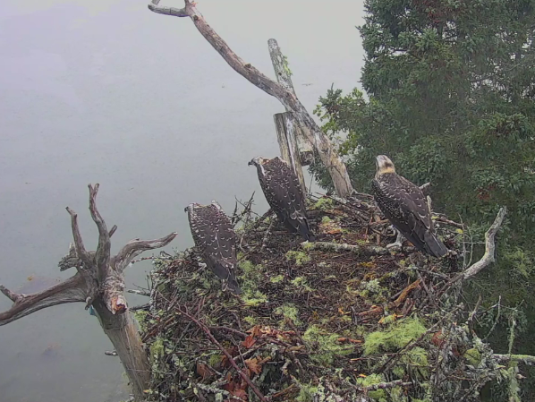 Hog Island, Maine, osprey chicks await their parents' return. Seconds later, an eagle makes off with one of the nestlings.