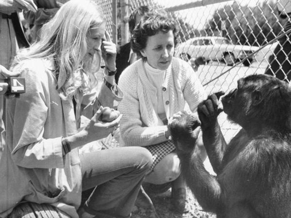 Koko, seen here with Penny Patterson (left) at age 4 1/2 — nearly 40 years ago — was taught sign language. June Monroe, an interpreter for the deaf at St. Luke's Church who helped teach Koko, is in the center.